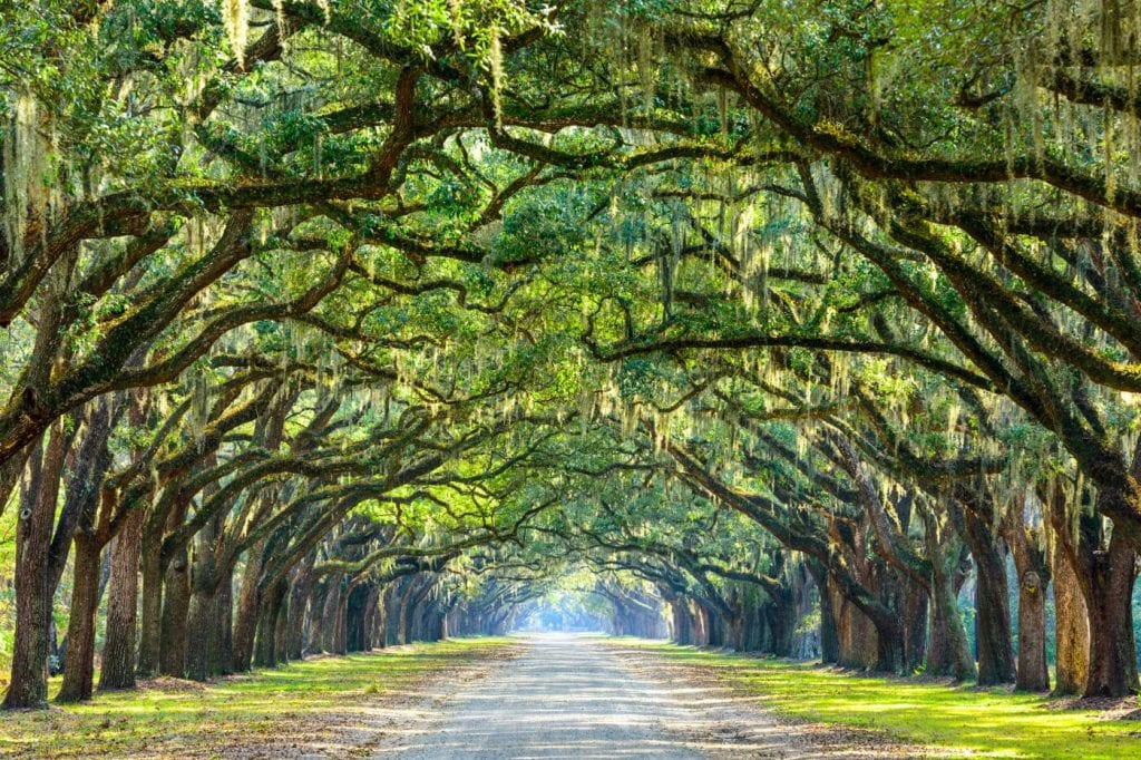 Scenic shot of Spanish moss hanging from trees over a road